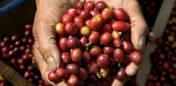 Nyhøstede kaffebønner